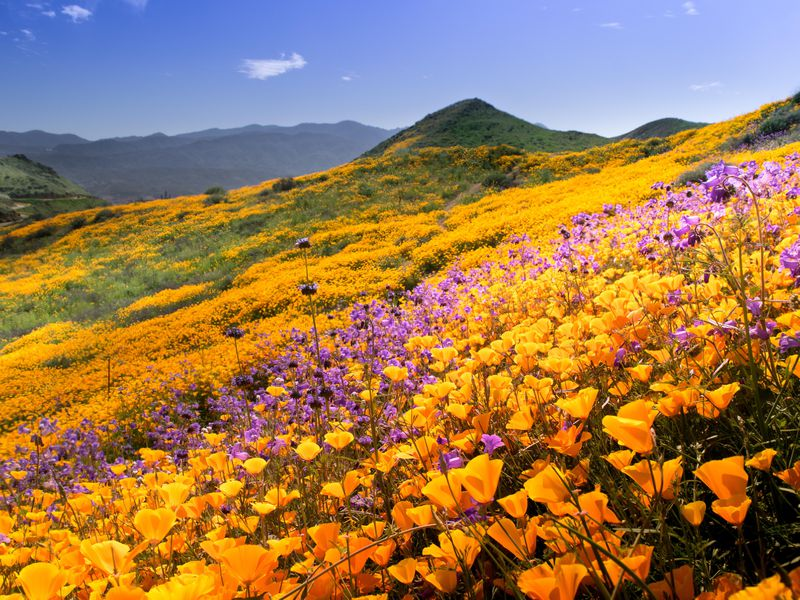 Cali wildflowers 3
